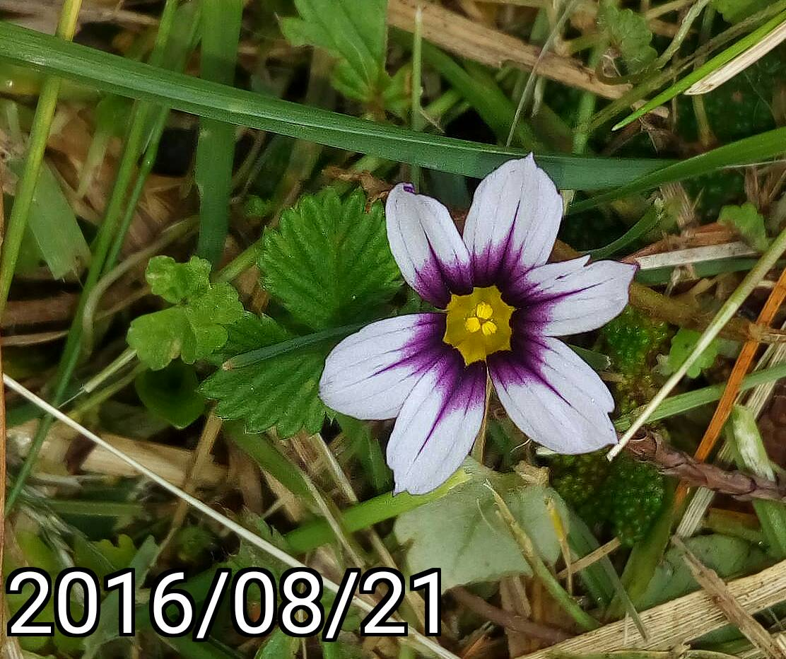 大雪山森林遊樂區 庭菖蒲 Sisyrinchium atlanticum, Eastern blue-eyed grass